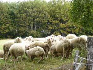 Sheep skedadeling
